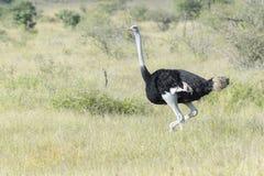 Gemensam struts som går på savann royaltyfri bild