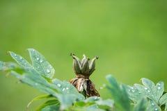 Gemensam sweetshrub med regndroppar arkivfoto