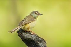 gemensam tailorbird Arkivbilder