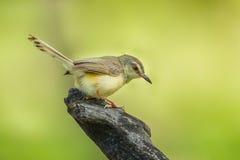 gemensam tailorbird Royaltyfri Foto