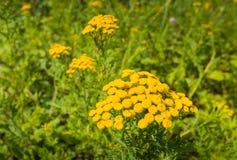 Gemensam Tansy för ljus gul blomning Arkivbild