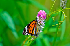 Gemensam tigerfjäril Arkivfoto