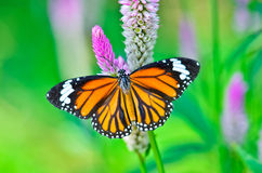 Gemensam tigerfjäril Royaltyfri Foto