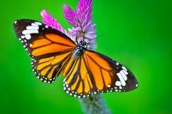 Gemensam tigerfjäril Royaltyfri Bild