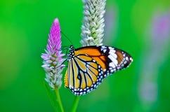 Gemensam tigerfjäril Royaltyfri Fotografi