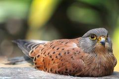 Gemensam tornfalk (den Falco tinnunculusen) Royaltyfria Bilder