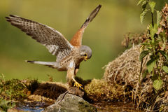 Gemensam tornfalk som jagar den lilla musen, Falco tinnunculus Royaltyfria Bilder