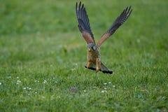 Gemensam tornfalk som jagar den lilla musen, Falco tinnunculus Royaltyfri Fotografi