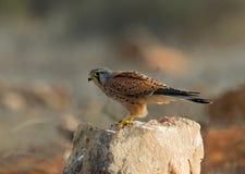 Gemensam tornfalk, Torenvalk, Falco tinnunculus royaltyfria bilder