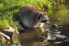 Gemensam tvättbjörn eller Procyonlotor Arkivbilder