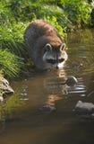 Gemensam tvättbjörn eller Procyonlotor Arkivfoto