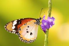 gemensam vanlig tiger Royaltyfria Foton