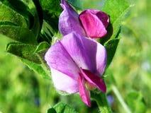 Gemensam vicker - sativa Vicia Royaltyfria Foton