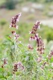 Gemensam vis man (Salvia officinalis) Arkivbild