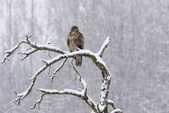 Gemensam vråkButeobuteo i vinter Arkivfoto