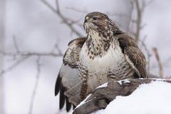 Gemensam vråkButeobuteo på insnöad vinter Fotografering för Bildbyråer