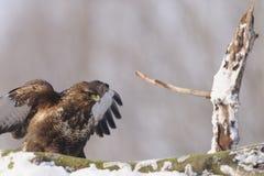 Gemensam vråkButeobuteo på insnöad vinter på solig dag Arkivfoton