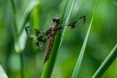 Gemensam Whitetail arkivfoton