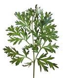 gemensam wormwood för absinthiumartemisia Arkivbild