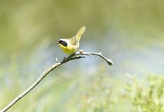 gemensam yellowthroat Royaltyfri Fotografi