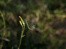 Gemensamma Azure Damselfly Fotografering för Bildbyråer