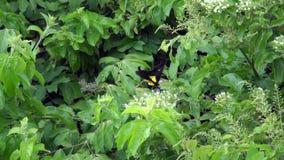 Gemensamma birdwing fjärilstroides helena som samlar nektar från blommor arkivfilmer