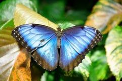 Gemensamma blåa Morpho Buterfly Royaltyfri Fotografi