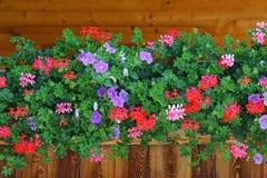 Gemensamma blåklockor (klockblomman Rotundifolia) i Europa Royaltyfria Bilder