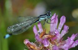 Gemensamma blått Tailed Damselfly Royaltyfri Bild