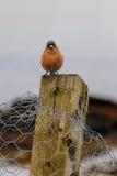 Gemensamma bofink- eller Fringillacoelebs Fotografering för Bildbyråer