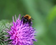 Gemensamma Carder Bee Fotografering för Bildbyråer