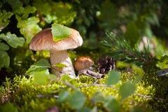 Gemensamma champinjoner i skog Royaltyfria Foton