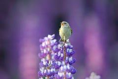 Gemensamma Chiffchaff, Phylloscopuscollybita som sjunger att sjunga i den härliga violetta Lupinusblomman Fågel i naturängvanan Royaltyfri Foto
