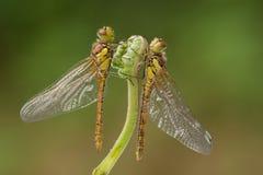 gemensamma darterdraonflies arkivbild