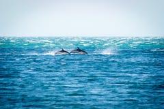 Gemensamma delfin kommer att ytbehandla på Windy Day Royaltyfri Fotografi