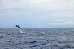 Gemensamma delfin som hoppar, Costa Rica Royaltyfri Foto