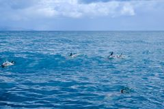 gemensamma delfiner Royaltyfri Foto