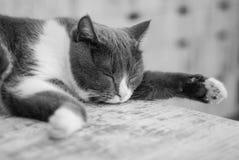 Gemensamma Gray Kitten Sleeping Isolated på Gray Table Husdjur hemma royaltyfri fotografi