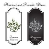 Gemensamma knotgrass, medicinalväxt Stock Illustrationer