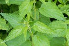 Gemensamma nässlaväxter med defensiv som sticker hår på grön leav royaltyfri foto