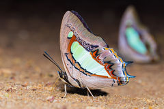Gemensamma nawabfjärilar suger mat Arkivfoto