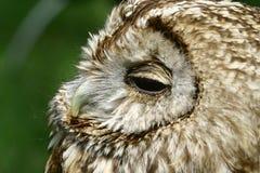 gemensamma owlscops Arkivbilder