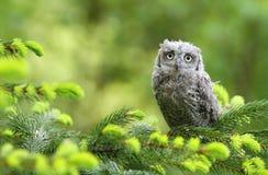 gemensamma owlscops Royaltyfria Bilder