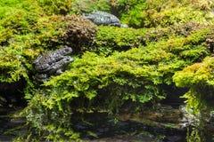 Gemensamma paddor som parar ihop på våt mossa Fotografering för Bildbyråer