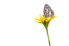Gemensamma Pierrot Butterfly (Castalius rosimon) på vit bakgrund royaltyfria foton