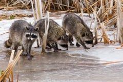 gemensamma raccoons royaltyfria foton