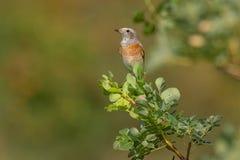 Gemensamma Redstart - gemensamma Redstart Royaltyfria Bilder