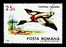 Gemensamma Shelduck (den Todorna tadornaen), skyddad djurserie, circ Royaltyfri Bild