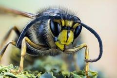 Gemensamma Wasp, Wasp arkivbilder