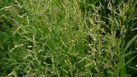 Gemensamt änggräs i en fältPoapratensis Koniska panicles växten kallas också den Kentucky blågräset arkivfilmer